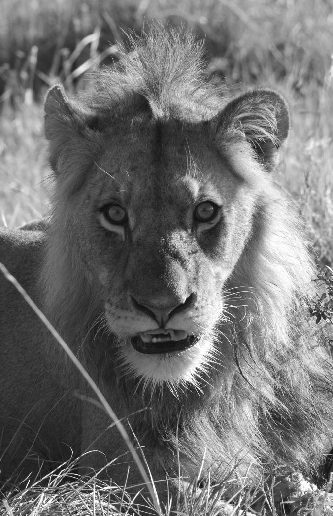 bouffe lion 4