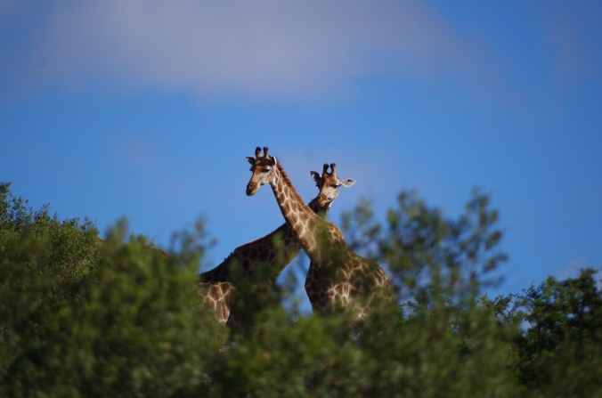 double girafe