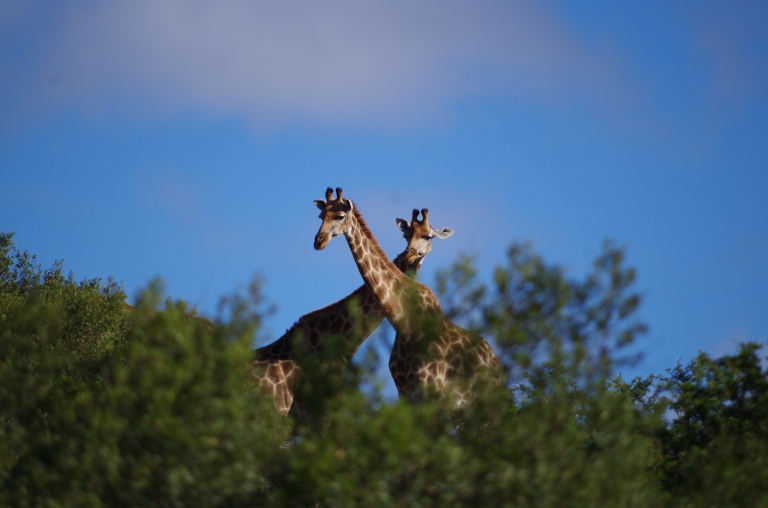 double girafe