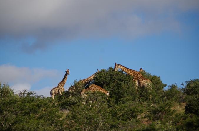 troupeau girafe