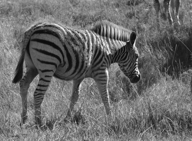 zebre nb